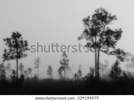 Dreamy Black and White landscape in the early morning fog with Slash pine in the Florida Everglades National Park. Filters applied to enhance the effect.