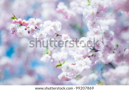 dreamy cherry blossom in spring with low dof - stock photo