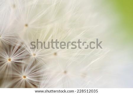 Dreamy dandelion on green macro - stock photo