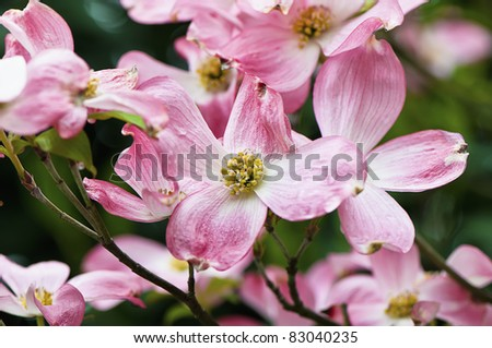 Dreamy dogwood blossoms in selective focus - stock photo