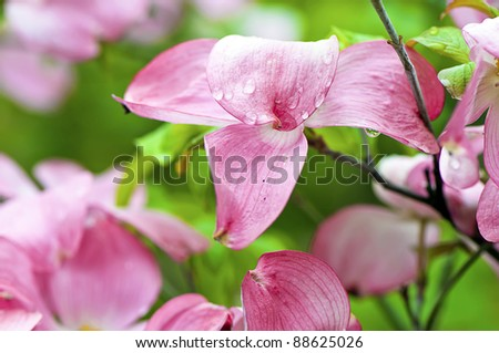 Dreamy dogwood blossoms in selective focus