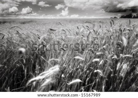 Dreamy Etheral Wheatfield - stock photo