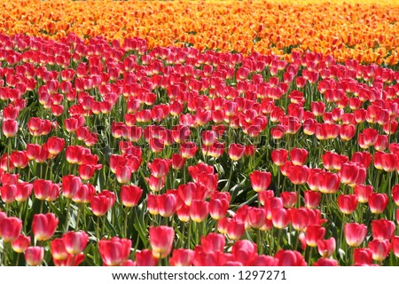 Dreamy fields of tulips (Mt Vernon, Washington)