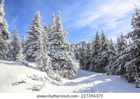 dreamy firs in the enchanted forest - stock photo