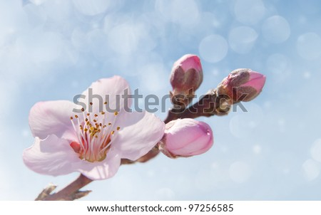 Dreamy image of a delicate pink peach tree flower in spring - stock photo