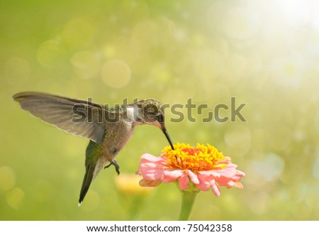 Dreamy image of a Hummingbird feeding on Zinnia flower - stock photo
