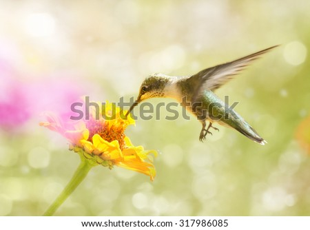 Dreamy image of a juvenile male Ruby-throated Hummingbird feeding on an orange Zinnia flower - stock photo
