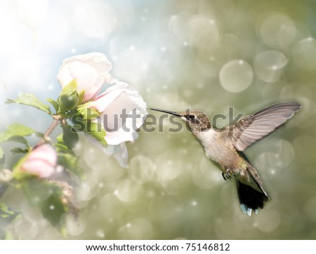 Dreamy image of a Ruby-throated Hummingbird feeding on a light pink Hibiscus flower - stock photo