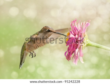 Dreamy image of a Ruby-throated Hummingbird feeding on a pink Zinnia flower - stock photo