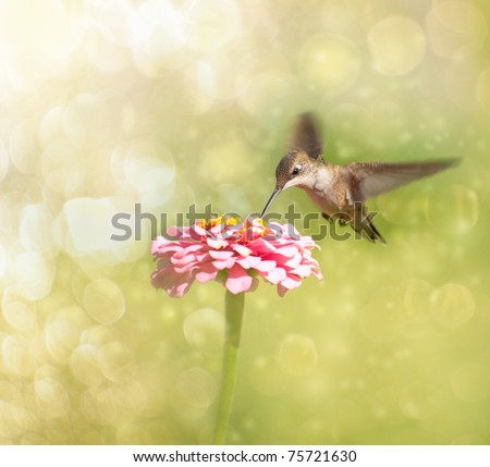 Dreamy image of a tiny female Hummingbird feeding on a pink Zinnia - stock photo