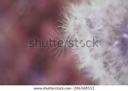 Dreamy image of dandelion seeds - soft focus effect - stock photo