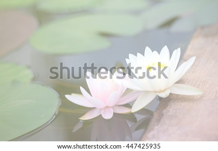 Dreamy pink lotus on water with cool tone filter