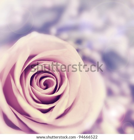 Dreamy rose abstract background, beautiful fresh violet flower, floral style image, closeup on nature, tender plant, shallow dof - stock photo