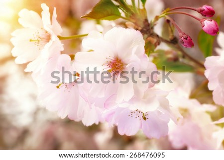 Dreamy spring blossoms closeup of a Japanese cherry tree in a garden, with warm sunlight - stock photo
