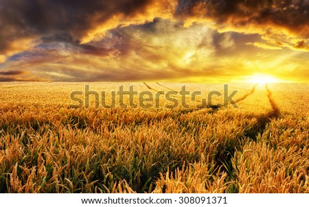 Dreamy sunset on a gold wheat field with tracks leading to the sun, focus on the foreground plants - stock photo