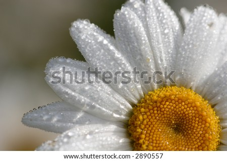 Drenched Daisy. Shallow DOF Close-up of a single Daisy drenched in morning dew. - stock photo