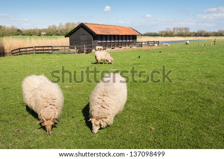 Drents Heath sheep in thick winter coat grazing in springtime. - stock photo