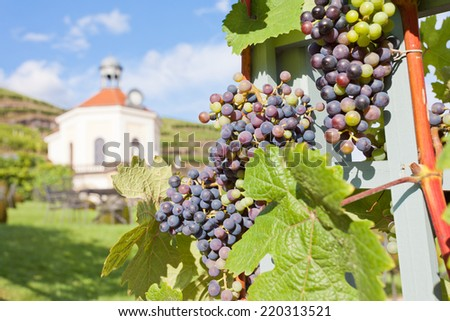 Dresden - Germany - Vine - stock photo