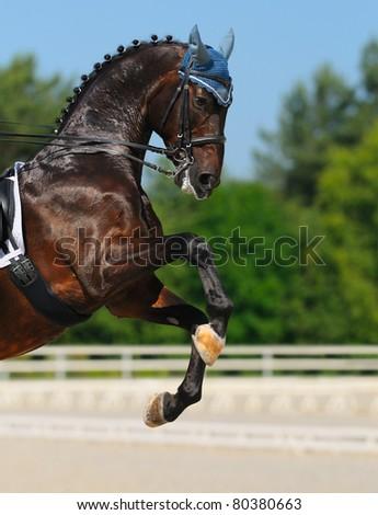 Dressage: bay Hanoverian horse rear - stock photo