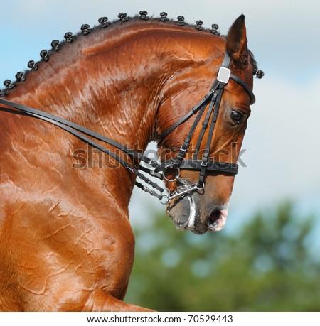 Dressage: head of bay stallion - nature background - stock photo