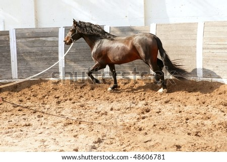 Dressage horse in round arenas with rope, running - stock photo