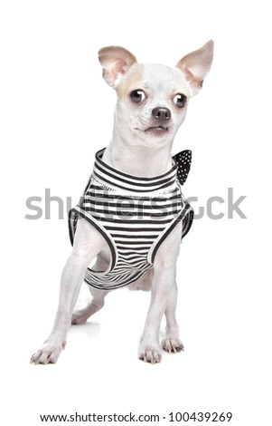dressed chihuahua in front of a white background