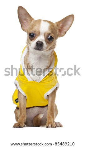Dressed Chihuahua puppy, 6 months old, sitting in front of white background