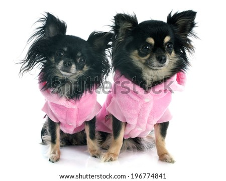 dressed chihuahuas in front of white background - stock photo