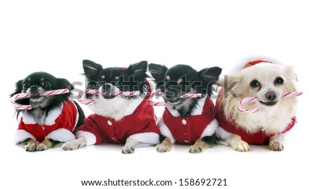 dressed chihuahuas with candy in front of white background - stock photo