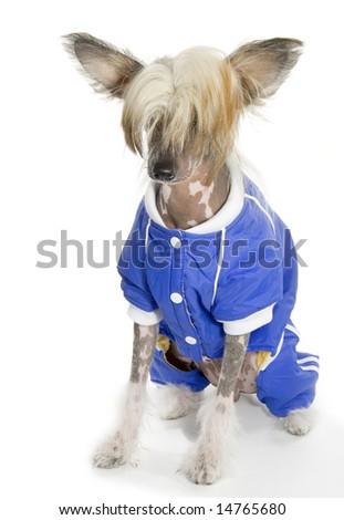 Dressed Chinese Crested Dog(hairless dog) - stock photo