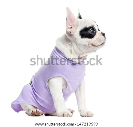 Dressed French Bulldog looking up, isolated on white