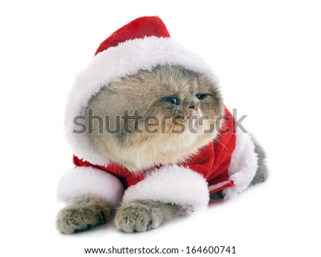 dressed kitten exotic shorthair cat in front of white background