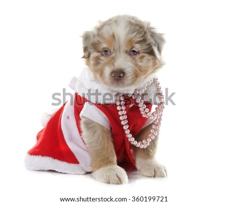 dressed puppy australian shepherd in front of white background