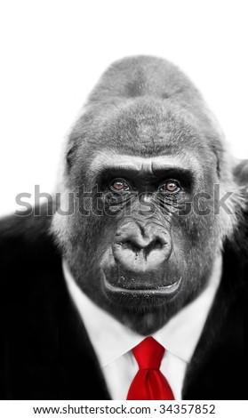Dressed to Kill Silverback Gorilla with focus on shrewd inquisitive expression in eyes, also available wearing Stock market Tie - stock photo
