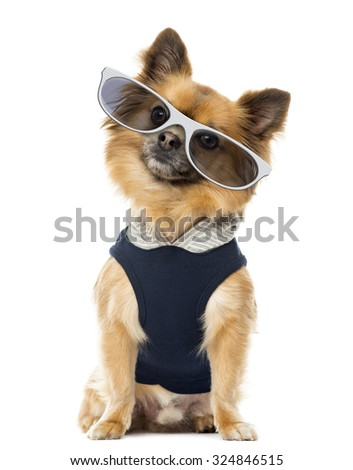 Dressed up Chihuahua sitting and wearing glasses, isolated on white - stock photo