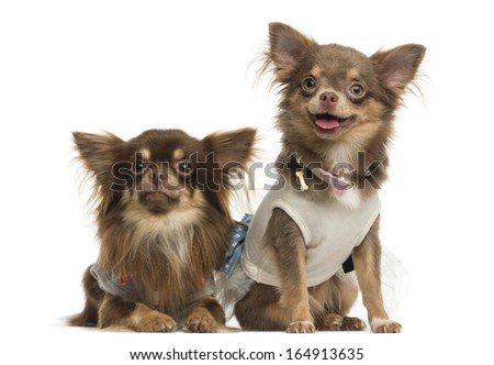 Dressed-up Chihuahuas next to each other, isolated on white - stock photo