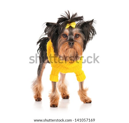 Dressed Yorkshire Terrier, 3 years old, isolated on white background - stock photo