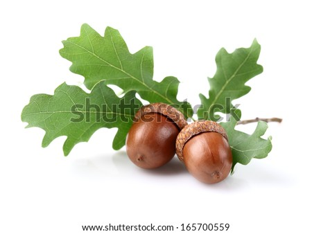 Dried acorn with leaves - stock photo