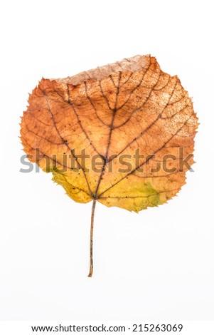 dried autumn leaf on white - stock photo