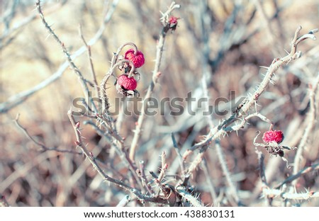 dried berry of rose