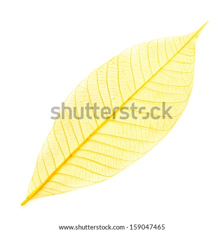 dried color  leaf  transparent    isolated on white. - stock photo