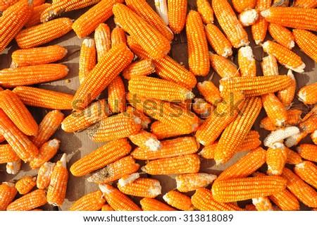 Dried corn background - stock photo