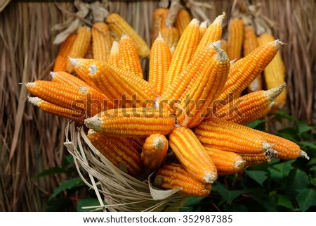 Dried corn cobs - stock photo