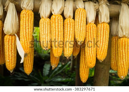 Dried corn for background