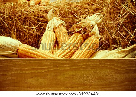 Dried corn on cobs on the straw against a wooden wall, vintage Color