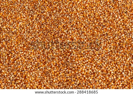 Dried  corn seed with sunlight after peel by peeler machine. - stock photo