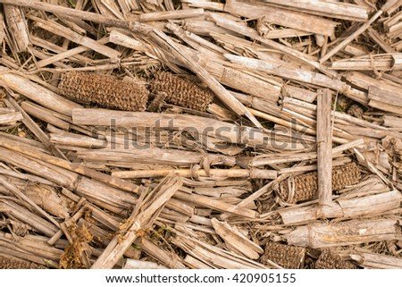Dried Corn Stalks and Cobs in a Field - stock photo