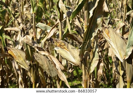 Dried ears of corn on stalks. - stock photo