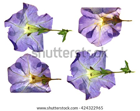dried fall burgundy flower viola isolated elements, white, background for scrapbook, object, roughage autumn leaf. - stock photo