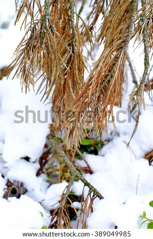 Dried fir branch